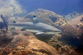 Blacktip reef shark — Stock Photo