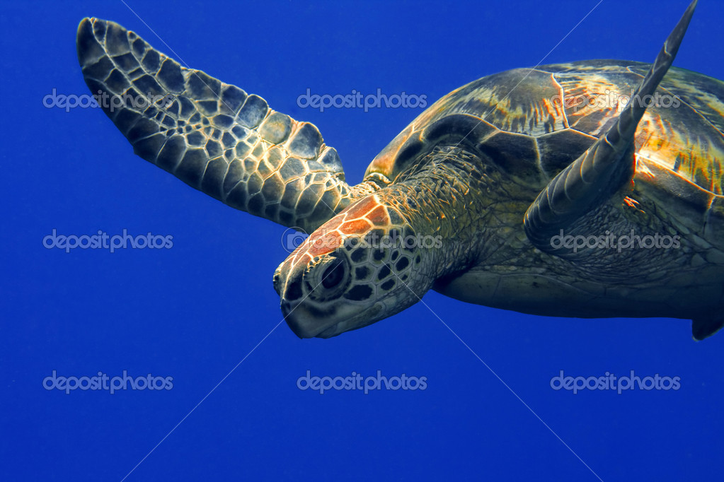 A green turtle at Sipadan, Borneo, Malaysia  Stock Photo #1169108