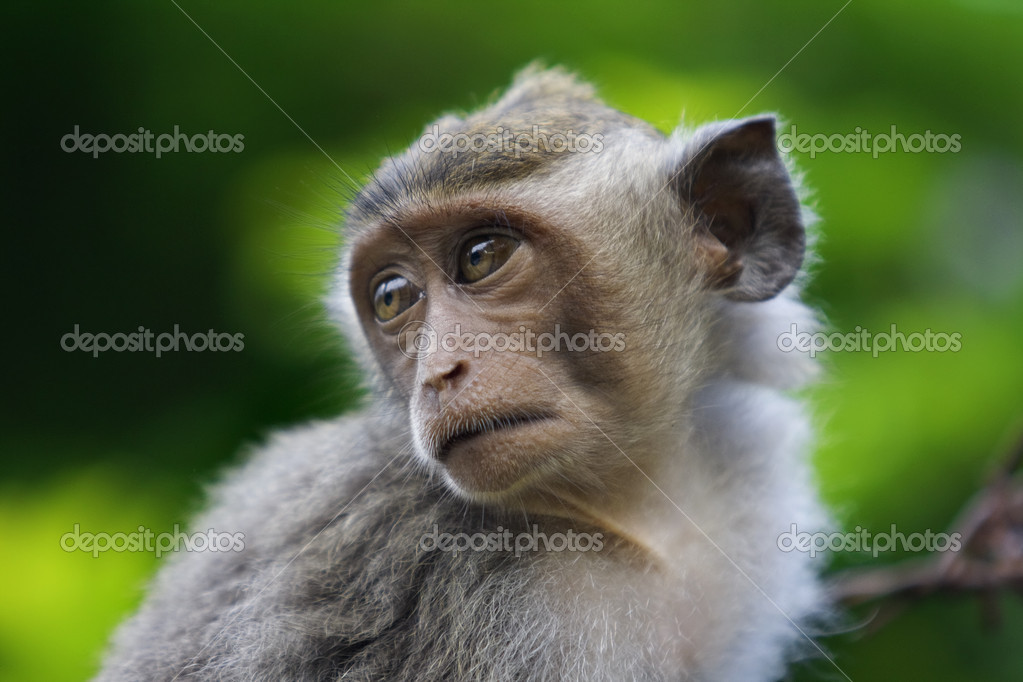 A macaque monkey in Bali, Indonesia — Stock Photo #1169283