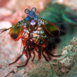 Peacock mantis shrimp — Stock Photo