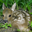 Roe Deer fawn — Stock Photo #1170438