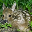 Stock Photo: Roe Deer fawn