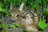 Roe Deer fawn — Stock Photo