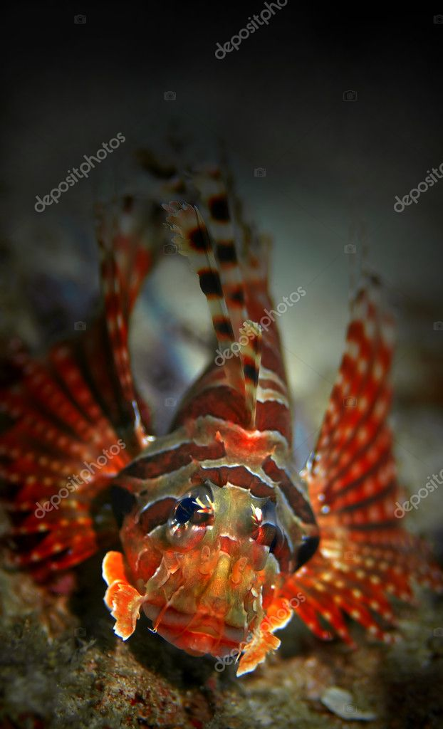 Common Lionfish at Palong divesite, Phi Phi, Thailand — Stock Photo #1222282