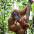 Orangutan with her baby - Stock Photo