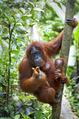 Orangutan with her baby — Stock Photo
