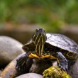 Stock Photo: Eastern painted turtle