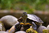 Eastern painted turtle — Stock Photo