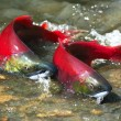 Red salmon couple - Stock Photo