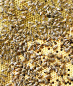 Bees on brood comb — Stock Photo