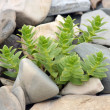 Plant on the pebble - Stock Photo