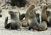 Harem of northern fur seal (Callorhinus ursinus) — Stock Photo