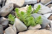 Plant on the pebble — Stock Photo