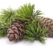 Foto Stock: Siberian pine cone with branch