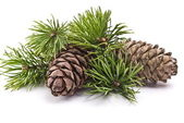 Siberian pine cone with branch — Stockfoto