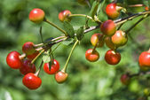 Unripe cherries — Stock Photo