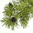 Pine branch with cones — Stockfoto