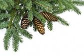 Fir tree branch with cones — Стоковое фото