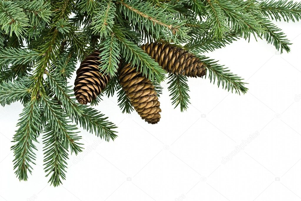 Fir tree branch with cones Fir Tree Branch