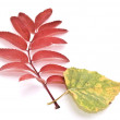 Birch and rowan-berry autumn leafs — Stock Photo