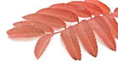 Red autumn rowan-berry leaf — Stock Photo