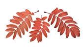 Red autumn rowan-berry leafs — Stock Photo