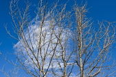 The dead trees on blue sky background — Stock Photo