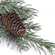 Fir tree branch with cone - Stock Photo