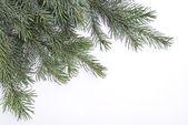 Rama de árbol de abeto — Foto de Stock