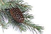 Fir tree branch with cone — 图库照片