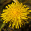 Dandelion — Stock Photo #1187078