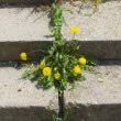 Dandelion — Photo #1195637
