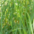 Green, juicy grass — Stock Photo #1198513