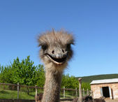Young ostriches on a farm — Stock Photo
