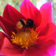 A bumblebee collects pollen — Stock Photo #1391229