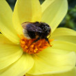 A bumblebee collects pollen - Stock Photo