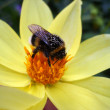 A bumblebee collects pollen — Stock Photo