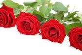 алые розы — Стоковое фото