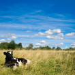 Cow on grass under blue sky — Stock Photo #1163011