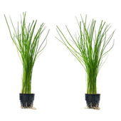 Hydroponic green onions in pots Isolated — Stock Photo