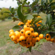 Sea-buckthorn berries — Foto de Stock