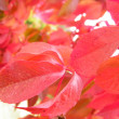 Stock Photo: Red leafs