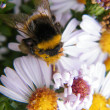 Bee on a flower — Stockfoto