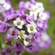 Violet and white flowers — Stock Photo #1236289
