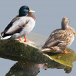 Duck pair — Stock fotografie