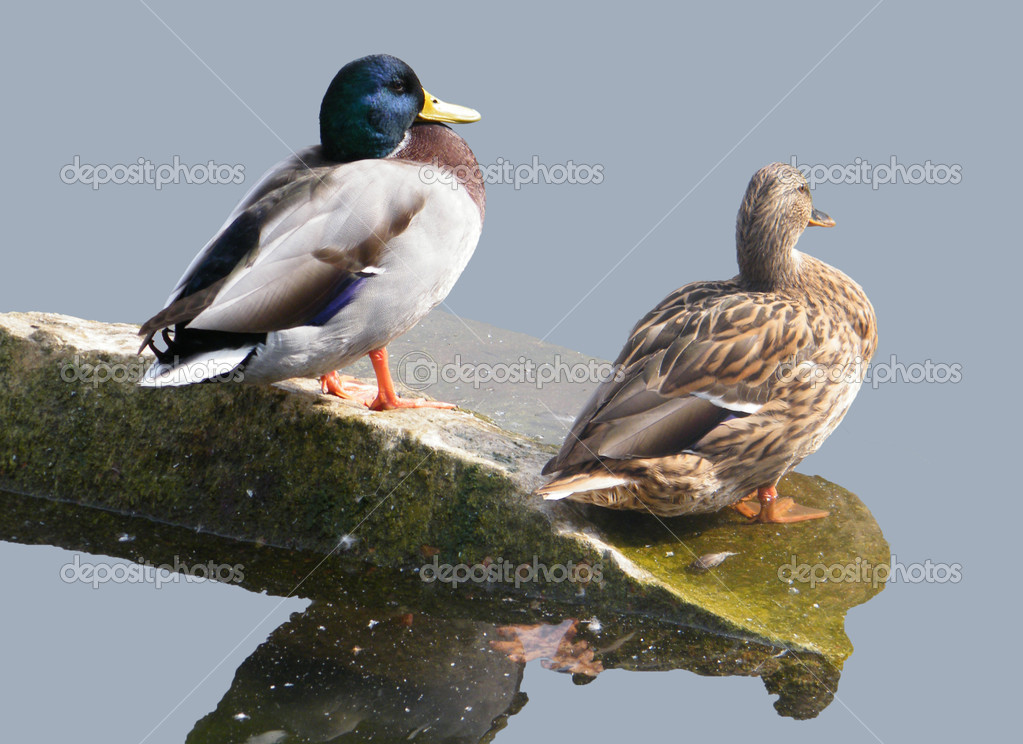 Two ducks incorporated on one islet — Stock Photo #1292604