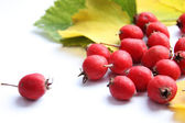 Berries of the hawthorn — Stock Photo