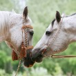 Arab horses love — Stock Photo