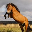 Stock Photo: Stallion rears