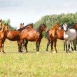 Arabian horse herd - Stock Photo